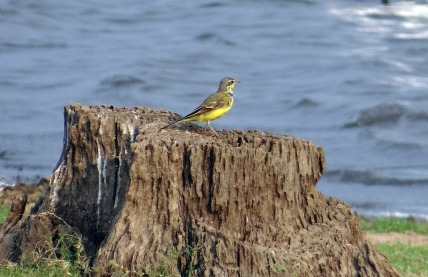 yellow-wagtail-317598_1280